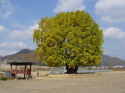 금산 요광리 은행나무