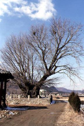 금산 요광리 은행나무(동절기)