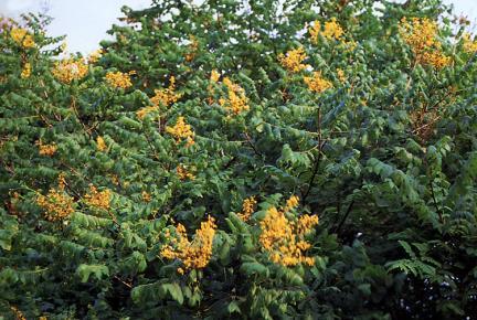 안면도의모감주나무