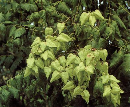 안면도의모감주나무잎과열매