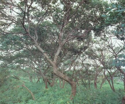 안면도의모감주나무군락