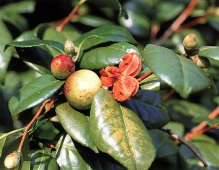 마량리동백나무잎과열매