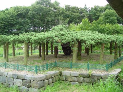 연기 봉산동 향나무