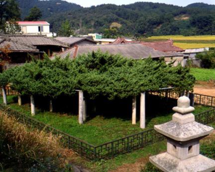 연산봉산동의향나무