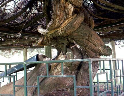 연산봉산동의향나무줄기