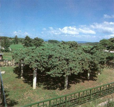 연기봉산동의향나무