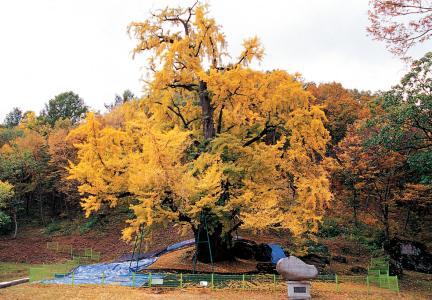 금산 보석사 은행나무