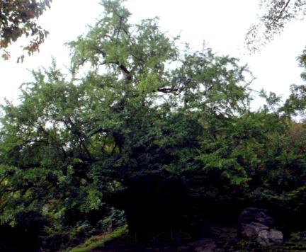 금산보석사의은행나무(전경)
