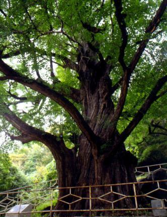 금산보석사의은행나무(근경)