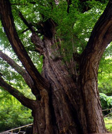 금산보석사의은행나무줄기