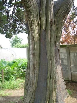 천안 양령리 향나무