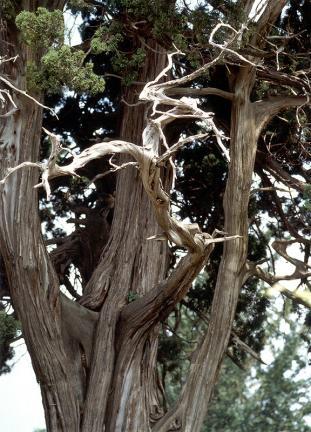 천안성환의향나무줄기