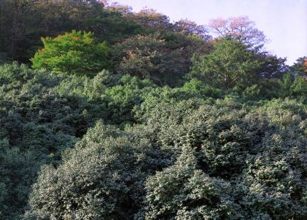 고창삼인리의동백나무숲
