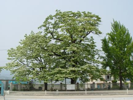 진안 평지리 이팝나무 군