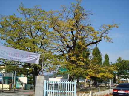 진안 평지리 이팝나무