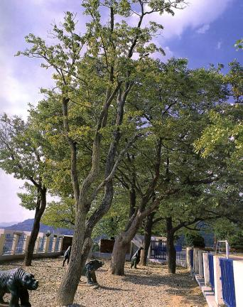 진안평지리의이팝나무