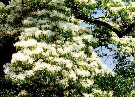 진안평지리의이팝나무꽃