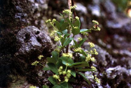 마이산의줄사철나무잎과꽃