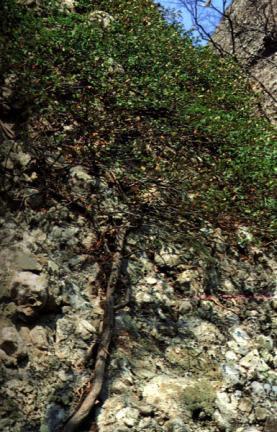 마이산의줄사철나무