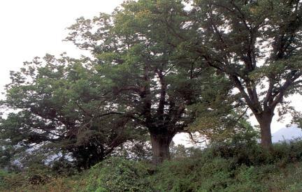 봉덕리느티나무전경