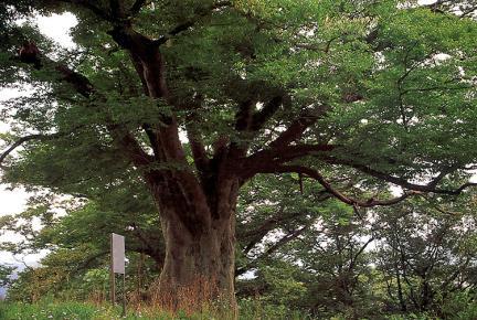 느티나무의전경
