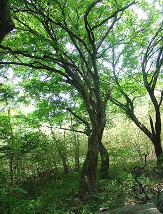고창은사리단풍나무숲