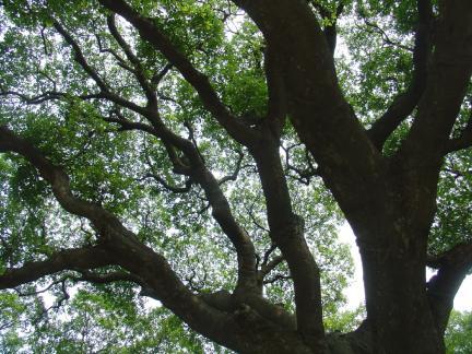 고창 수동리 팽나무의 나무갓