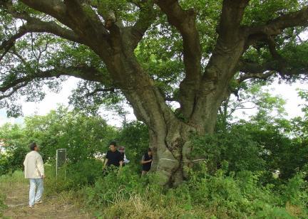 고창 수동리 팽나무의 뿌리근처