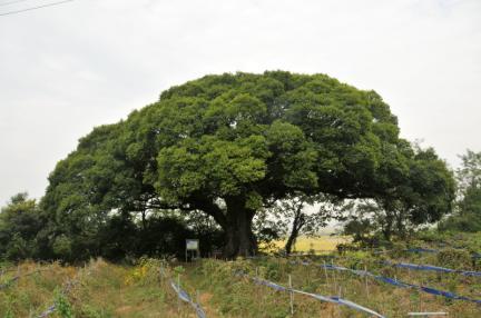고창 수동리 팽나무