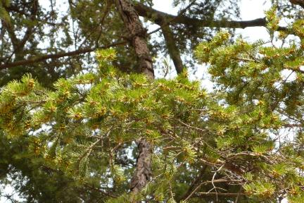 진안천황사전나무