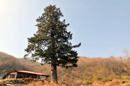 진안 천황사 전나무