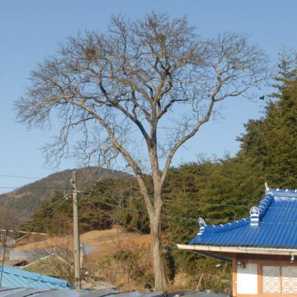 정읍두월리청실배나무