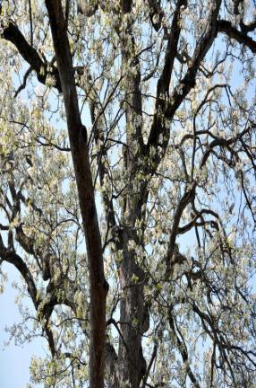 정읍 두월리 청실배나무