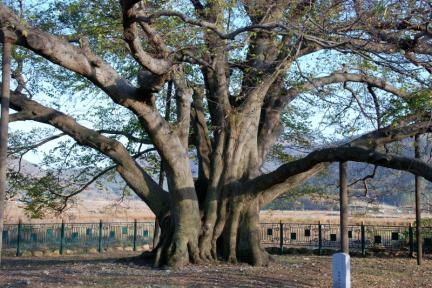 강진 사당리 푸조나무
