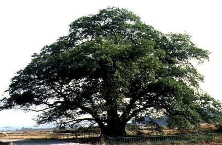대구면의푸조나무(하절기)