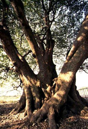 대구면의푸조나무근부(根部)전경