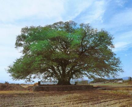 대구면의푸조나무