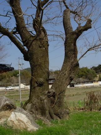 순천 평중리 이팝나무