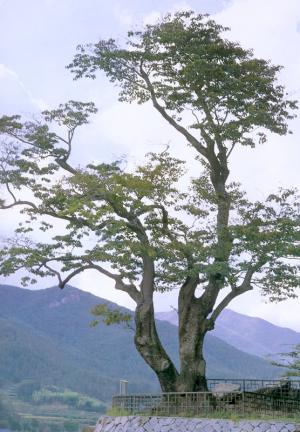 쌍암면의이팝나무