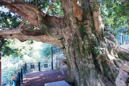강진 삼인리 비자나무