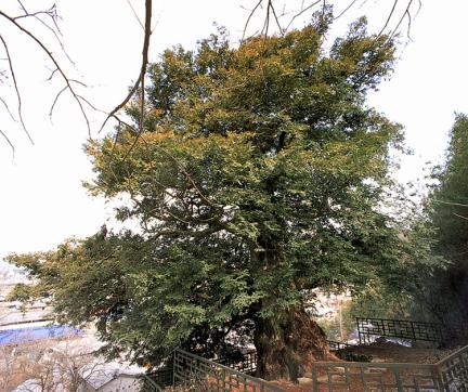 병영면의비자나무