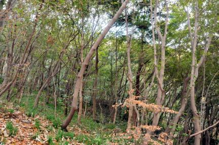 영광 불갑사 참식나무 자생북한지