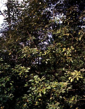 영광불갑면의참식나무자생북한지대