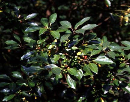 영광불갑면의참식나무잎과열매