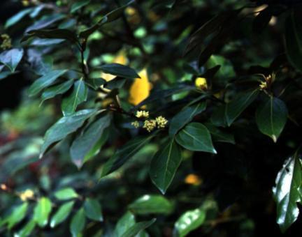 영광불갑면의참식나무잎과꽃