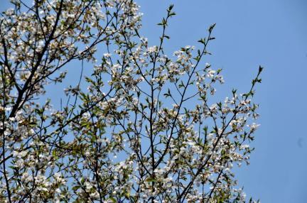 해남 대둔산 왕벚나무 자생지