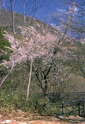 대둔산왕벚나무자생지