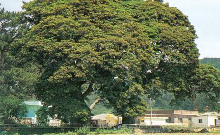 진도관매리의후박나무