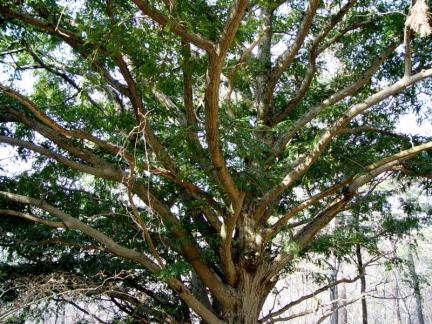 해남 녹우단 비자나무 숲