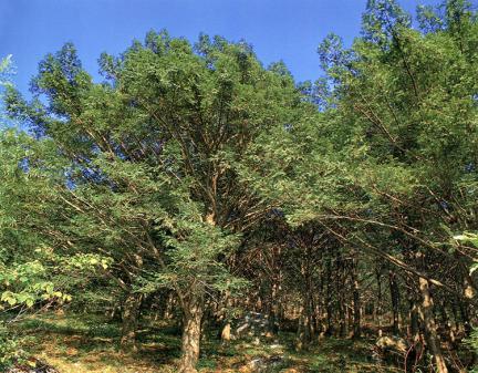 해남연동리의비자나무숲